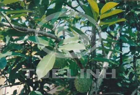 Annona glabra L. 1