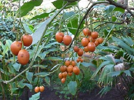 Cyphomandra betacea (Cav.) Sendt. - Solanum betaceum Cav 1