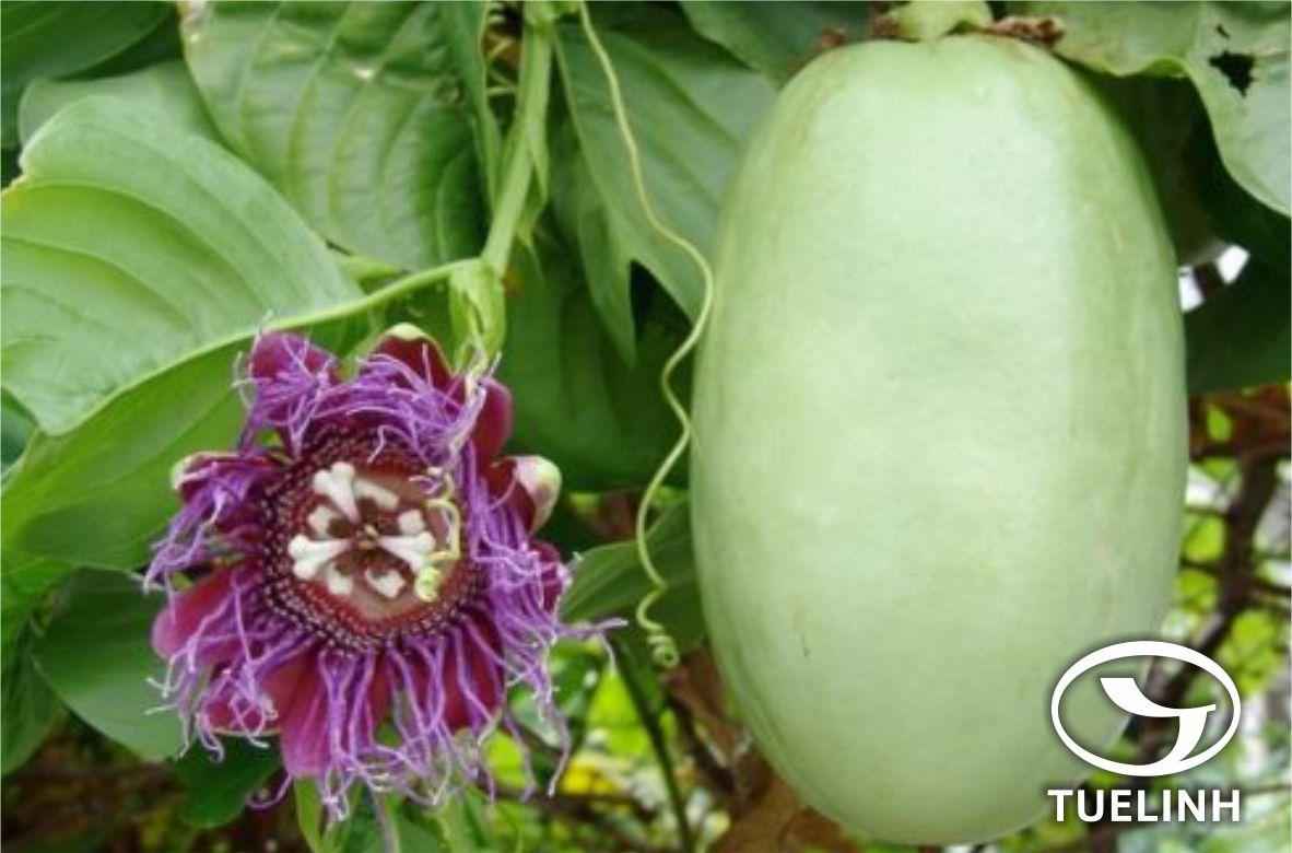 Passiflora quadrangularis L. 1