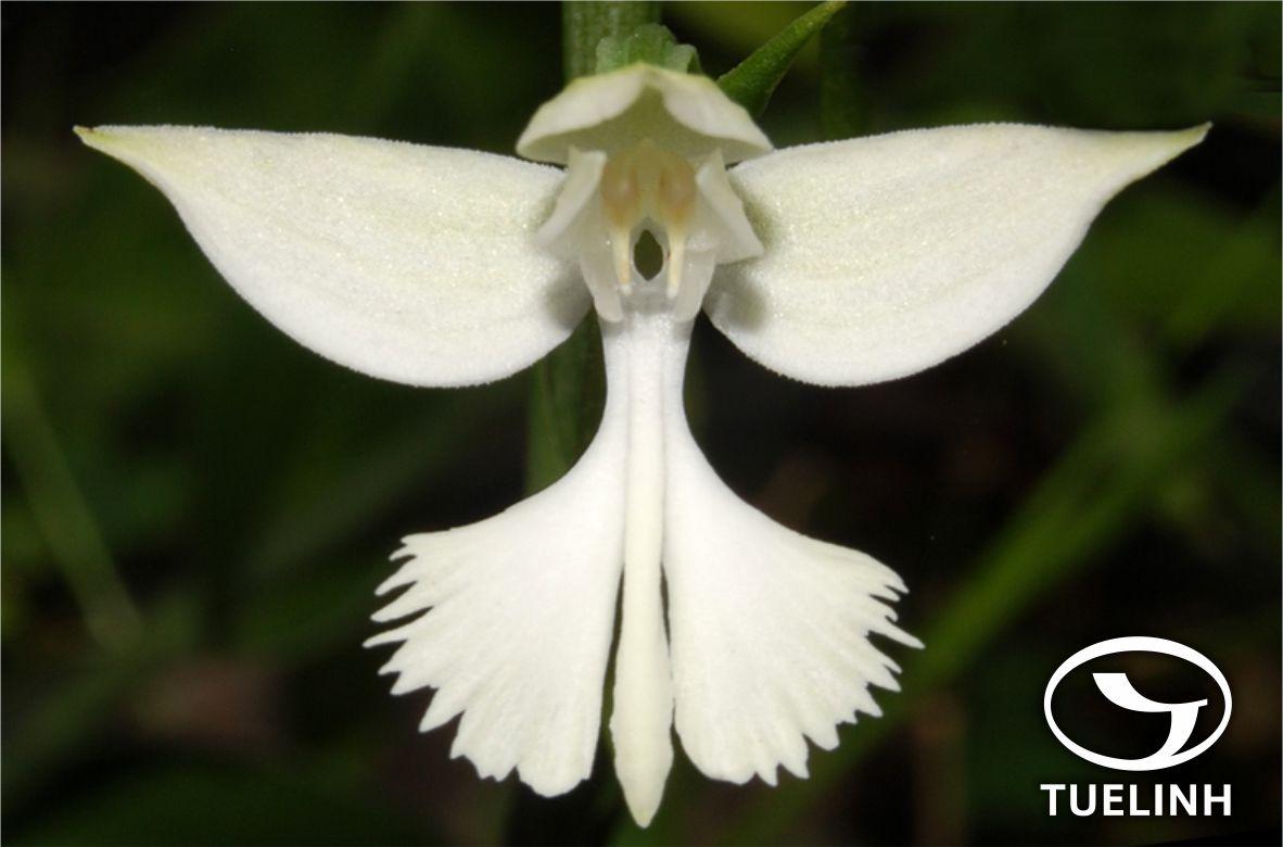 Habenaria dentata (Sw.) Schltr. 1