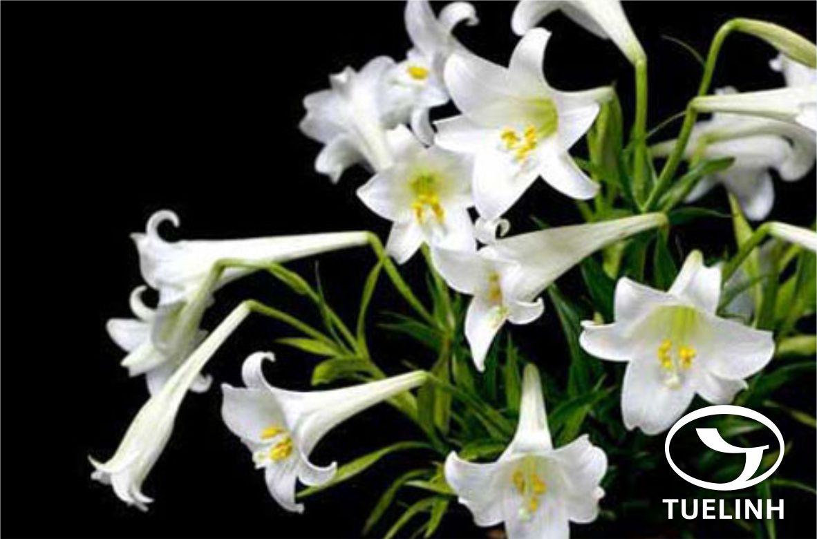 Lilium longiflorum Thunb. 1