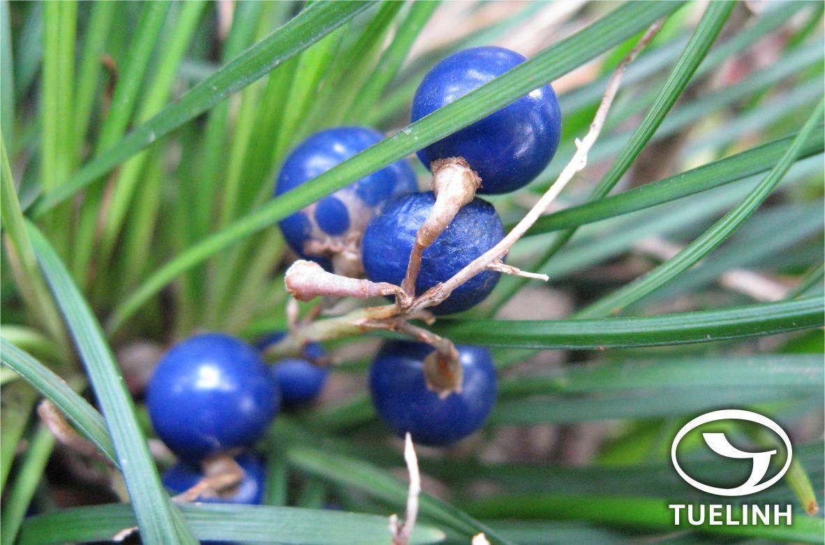 Ophiopogon japonicus (L.f.) Ker-Gawl. 1