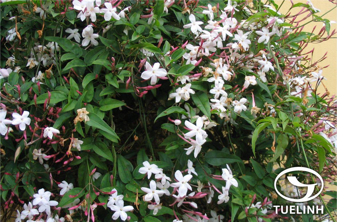 Jasminum scandens Vahl 1