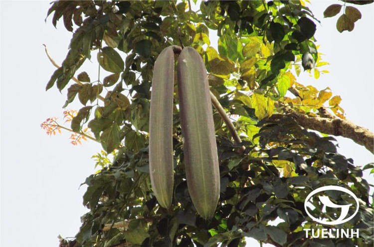 Oroxylum indicum (L.) Kurz 1