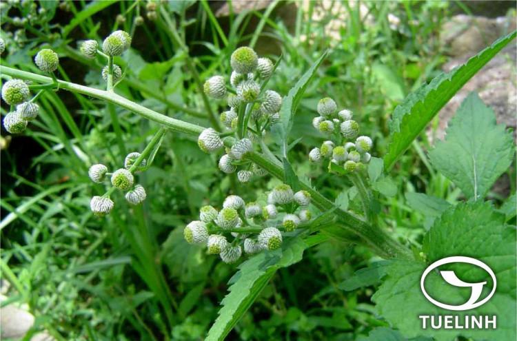 Dichrocephala integrifolia (L. f.) Kuntze 1