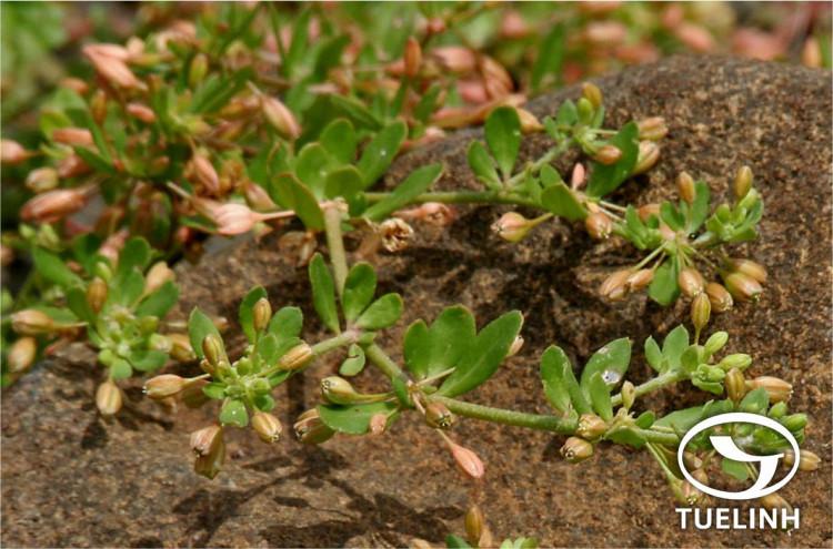 Glinus oppositifolius (L.) DC. 1