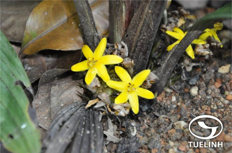 Curculigo latifolia Dryand. ex W. T. Aiton 1