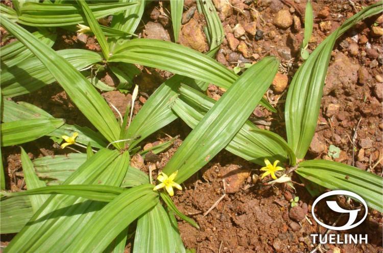 Curculigo orchioides Gaertn 1
