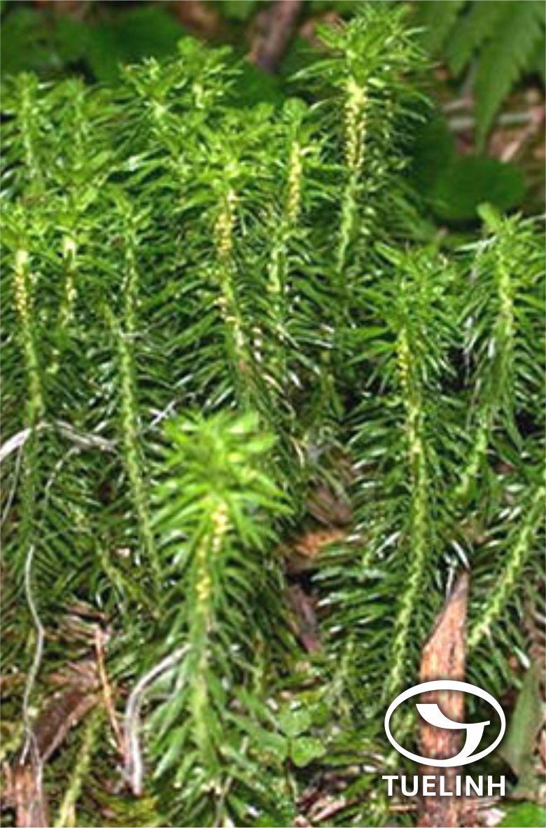 Huperzia serrata (Thunb.) Trevis 1