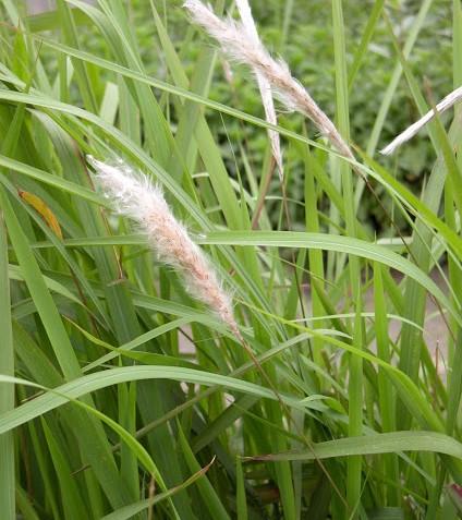 Cây cỏ tranh 1