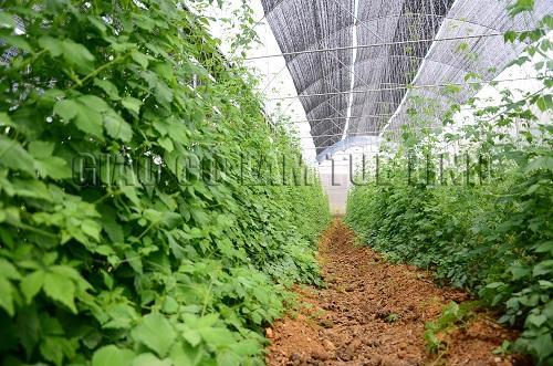 Chuẩn hóa quy trình trồng và sản xuất Trà giảo cổ lam 1
