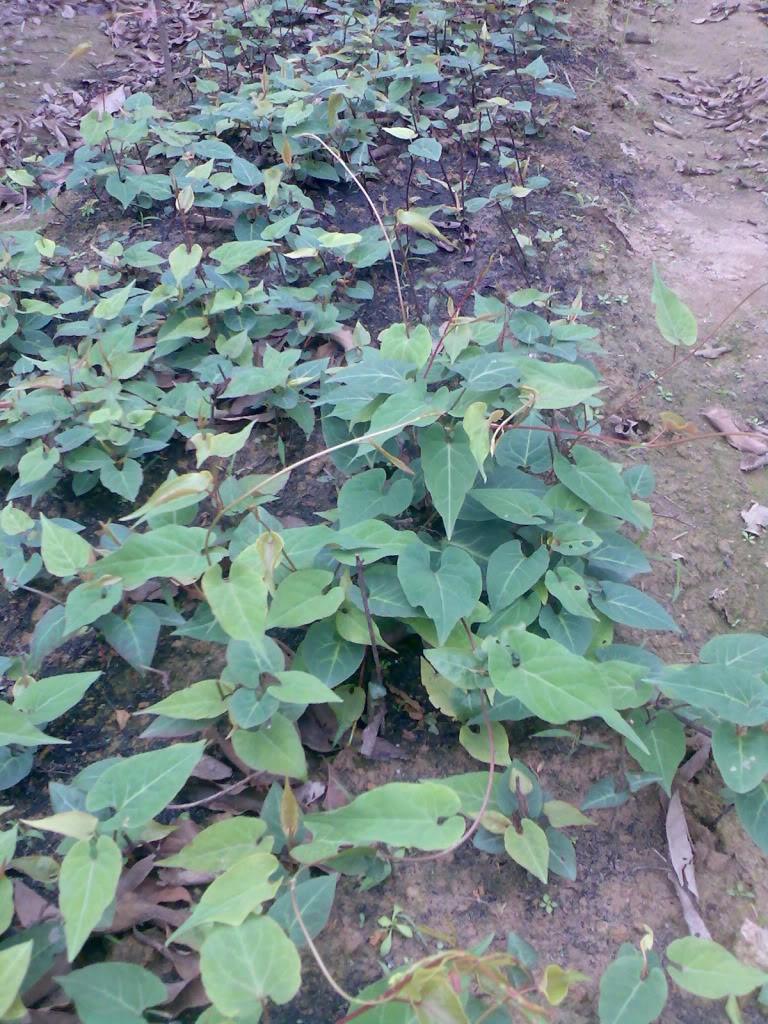 Kĩ thuật trồng hà thủ ô 3