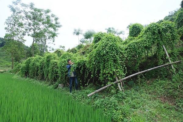 Kĩ thuật trồng hà thủ ô 1