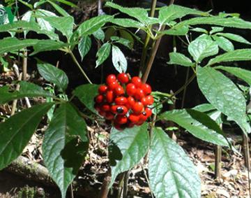 Những loại cây dược liệu quý hiếm có giá trị nhất tại Việt Nam cần được bảo tồn