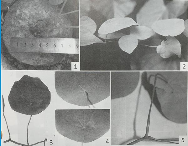 Đặc điểm thực vật và giám định tên khoa học 2
