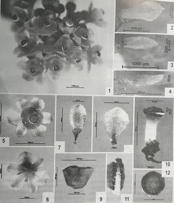 Đặc điểm thực vật và giám định tên khoa học 3