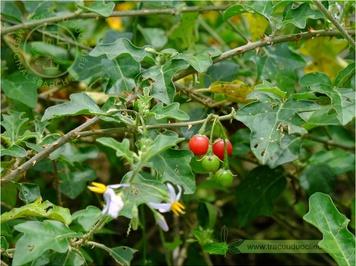 Solanum procumbens Lour.