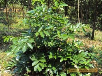 Hình ảnh cây mạ mân 1