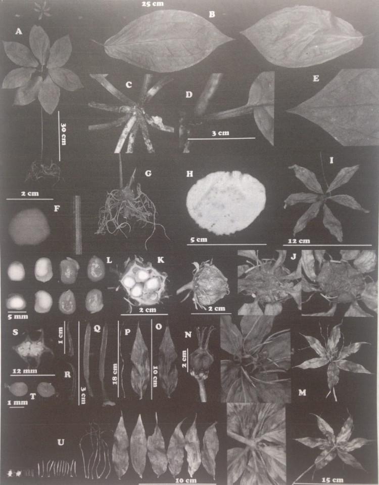 Góp phần xây dựng tiêu chuẩn cơ sở dược liệu bảy lá một hoa ở Việt Nam 2