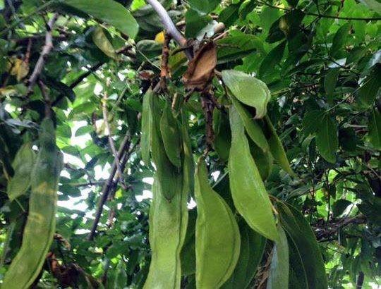 Hình ảnh cây mạ mân 4