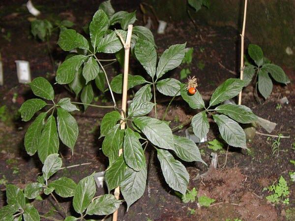 Tác dụng của Sâm Việt Nam trồng trên nồng độ Interleukin-5 và Interleukin-13 trong huyết tương chuột bị gây hen bằng Ovalbumin 1