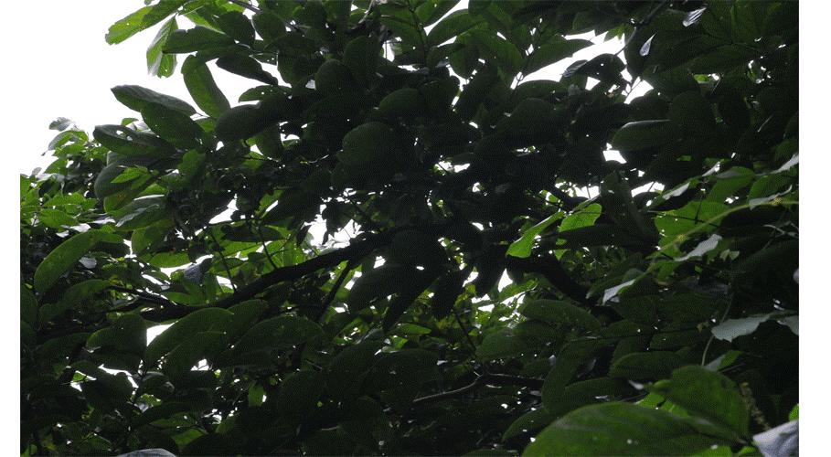 Hình ảnh cây mạ mân 6