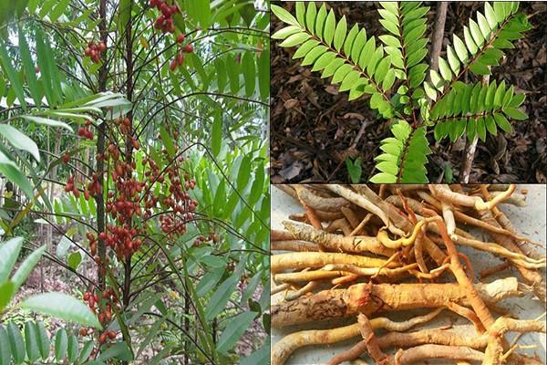 Hình ảnh nhận biết cây bách bệnh- cây mật nhân 1