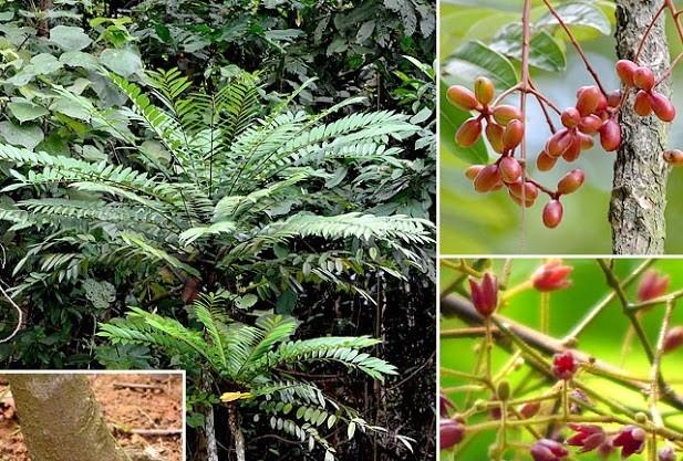 Hình ảnh nhận biết cây bách bệnh- cây mật nhân 4