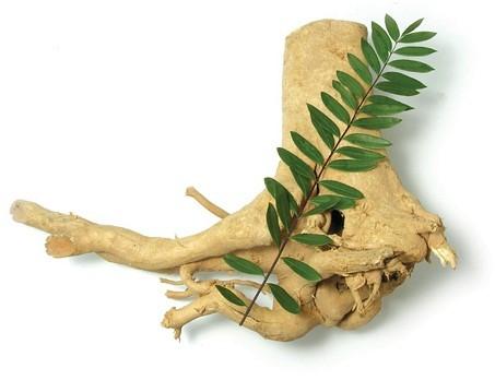 Hình ảnh nhận biết cây bách bệnh- cây mật nhân 3