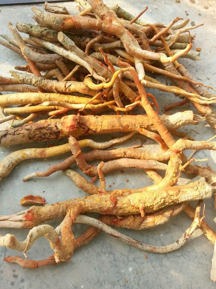 Mua rễ cây mật nhân ở đâu 1