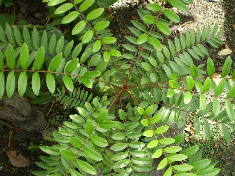 Hình ảnh nhận biết cây bách bệnh- cây mật nhân 2