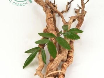 Hình ảnh nhận biết cây bách bệnh- cây mật nhân 7