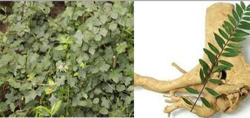 Cách sử dụng cây mật nhân trị bệnh gan hiệu quả 1