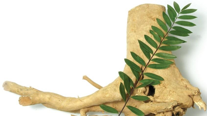 Rễ cây mật nhân trị bệnh gì 1