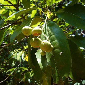 Acronychia odorata (Lour.) Baill. ex Crevost et Lem. – Jambolifera odorata Lour.