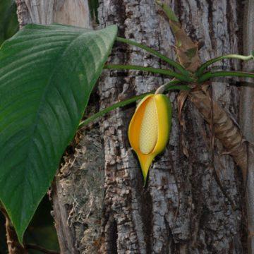 Rhaphidophora hookeri Schott