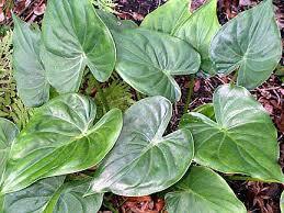 Alocasia cucullata (Lour.) Schott; Arum cucullata Lour.