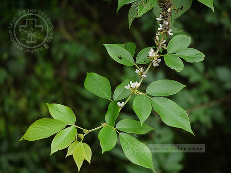 Desmodium triangulare (Retz.) Schindl. - Hedysarum triangulareRetz. 1