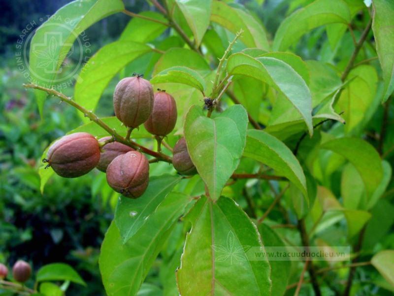 Croton tiglium L. 1