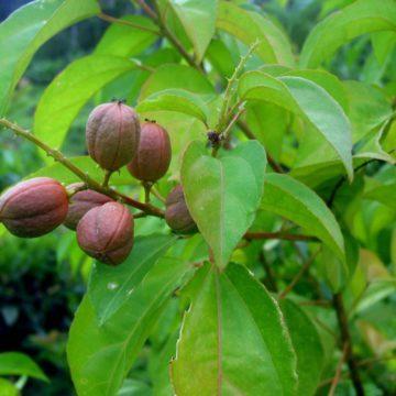 Croton tiglium L.