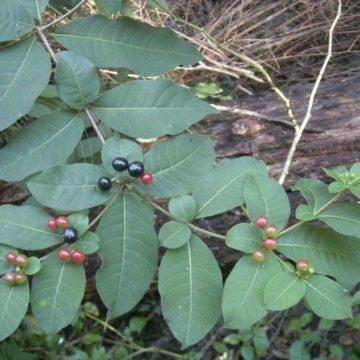 Rauvolfia tetraphylla L. – Rauvolfia canescens L.
