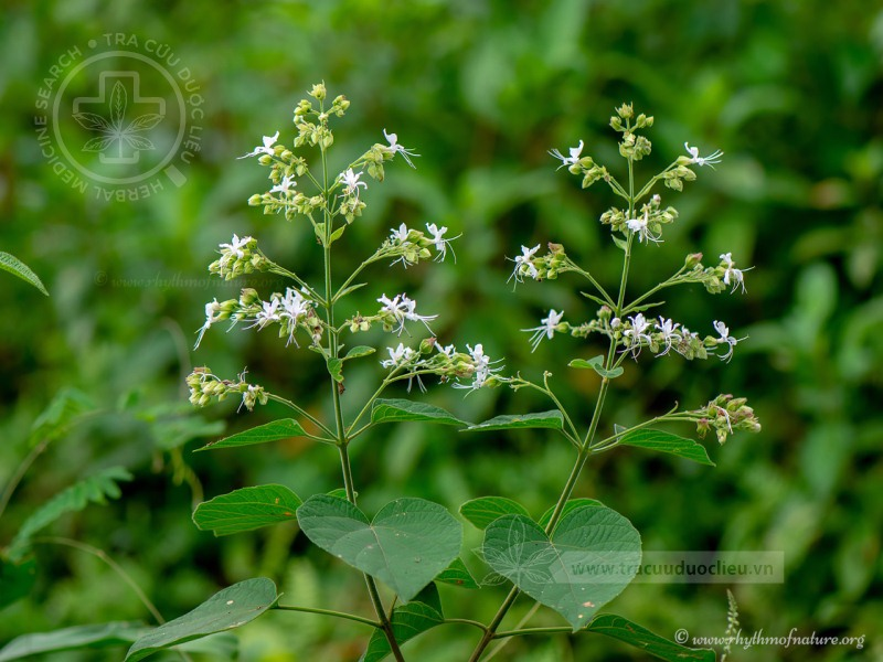 Clerodendrum canescens Wall. ex Schauer 1