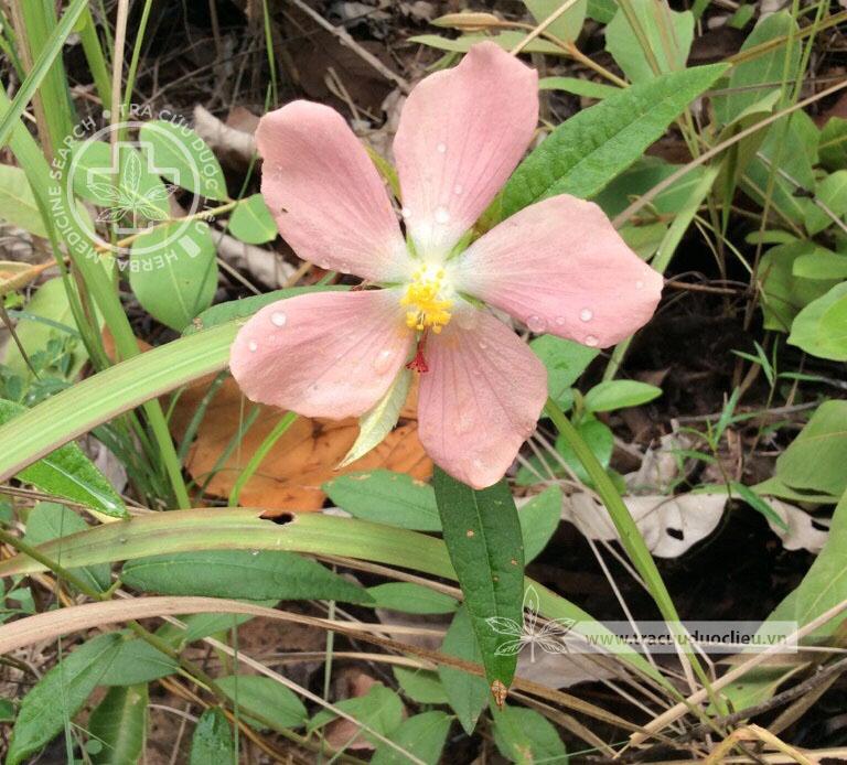 Decaschistia crotonifolia Wight et Arn. 1