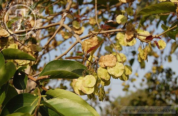 Holoptelea integrifolia (Roxb.) Planch. 1