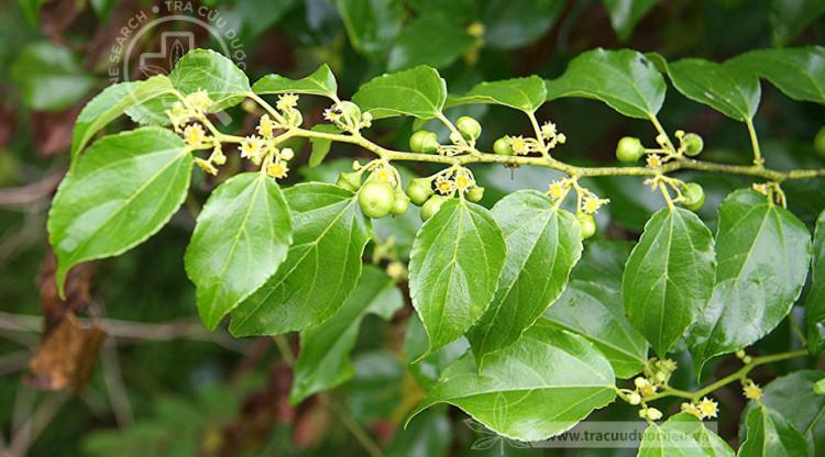 Colubrina asiatica (L.) Brongn 1