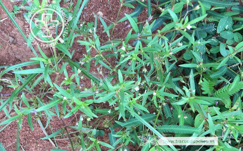 Hedyotis herbacea L. 1