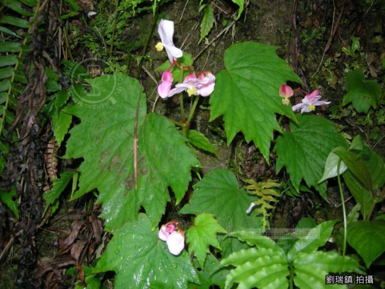 Begonia laciniata Roxb. 1