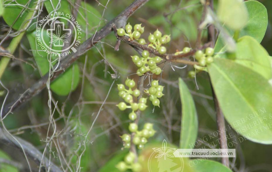 Embelia undulata (Wall.) Mez 1