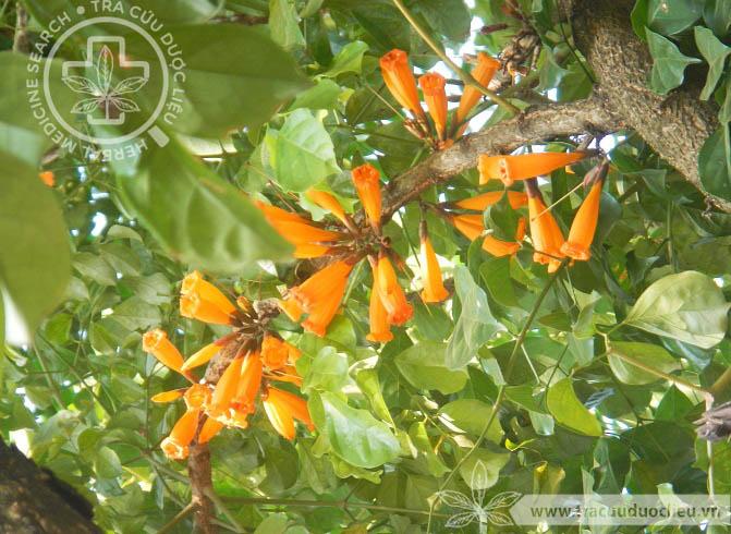 Radermachera ignea (Kurz) Steen. 1