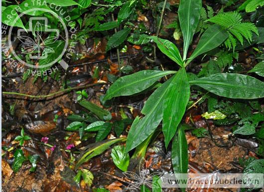 Amischotolype mollissima (Blume) Hassk. forma marginata 1